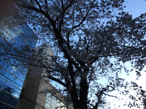 矯正歯科クリニック前の桜